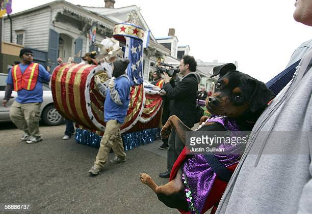 A dog watches as a float goes by during the Krewe of Barkus Mardi Gras parade February 19 2006 in the French Quarter of New Orleans Louisiana The...
