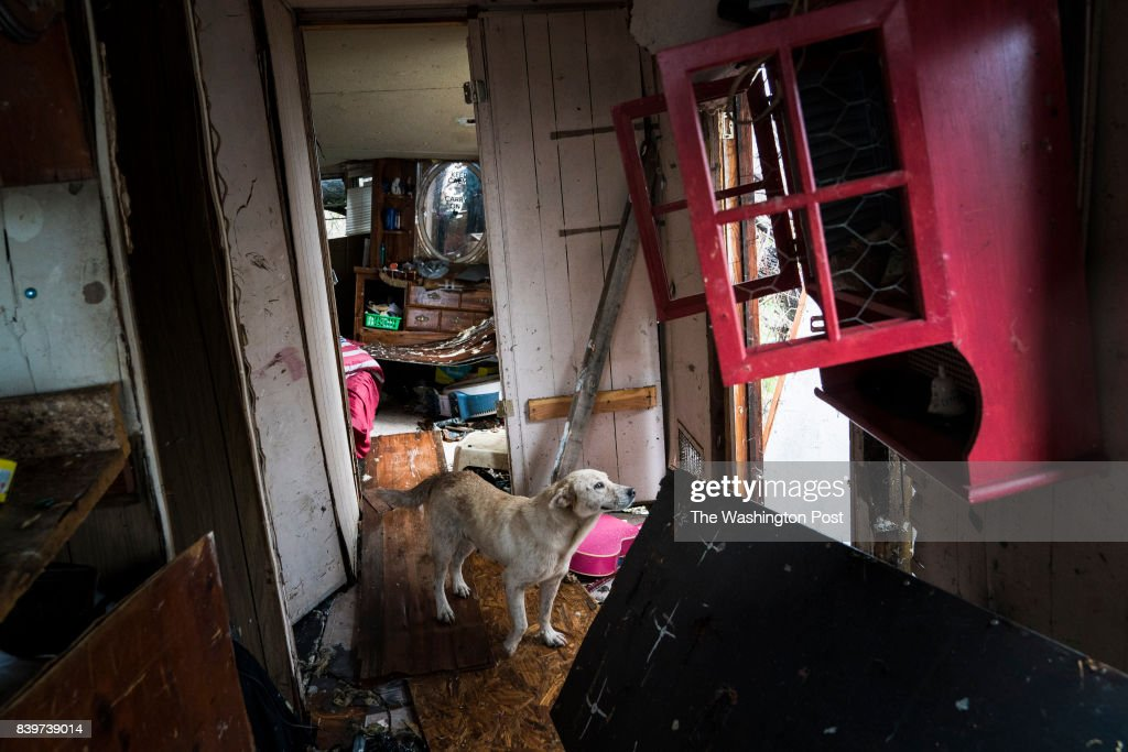 A dog watches as Nahan Valdez gathers supplies out of his destroyed home to take back to a shelter near City-By-The Sea, TX as Hurricane Harvey hits the Texas coast on Saturday, Aug 26, 2017.