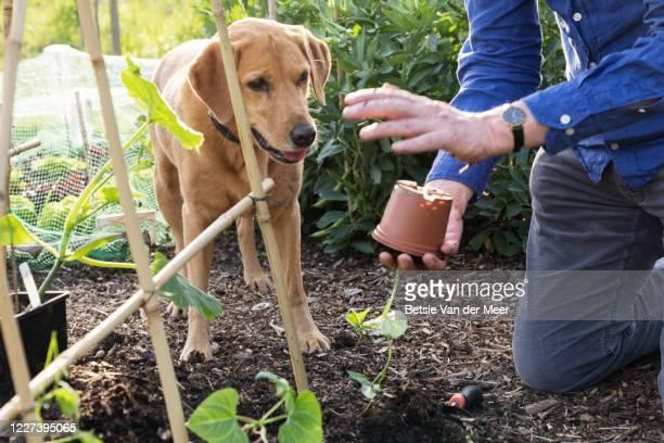 dog watches man removing bean seedling out of pot to plant in garden. - bohnenranke stock-fotos und bilder