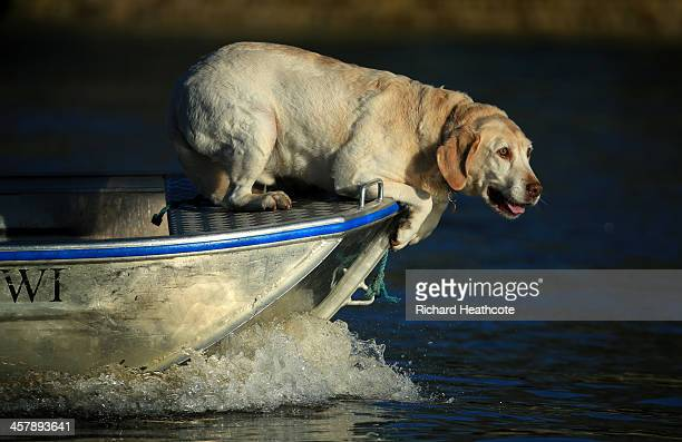 A dog watches the rowers from the front of a launch during the Women's University Boat Race Trial 8's race on The River Thames on December 19 2013 in...