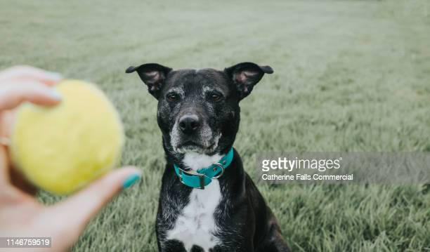 dog watching a ball - flick stock pictures, royalty-free photos & images