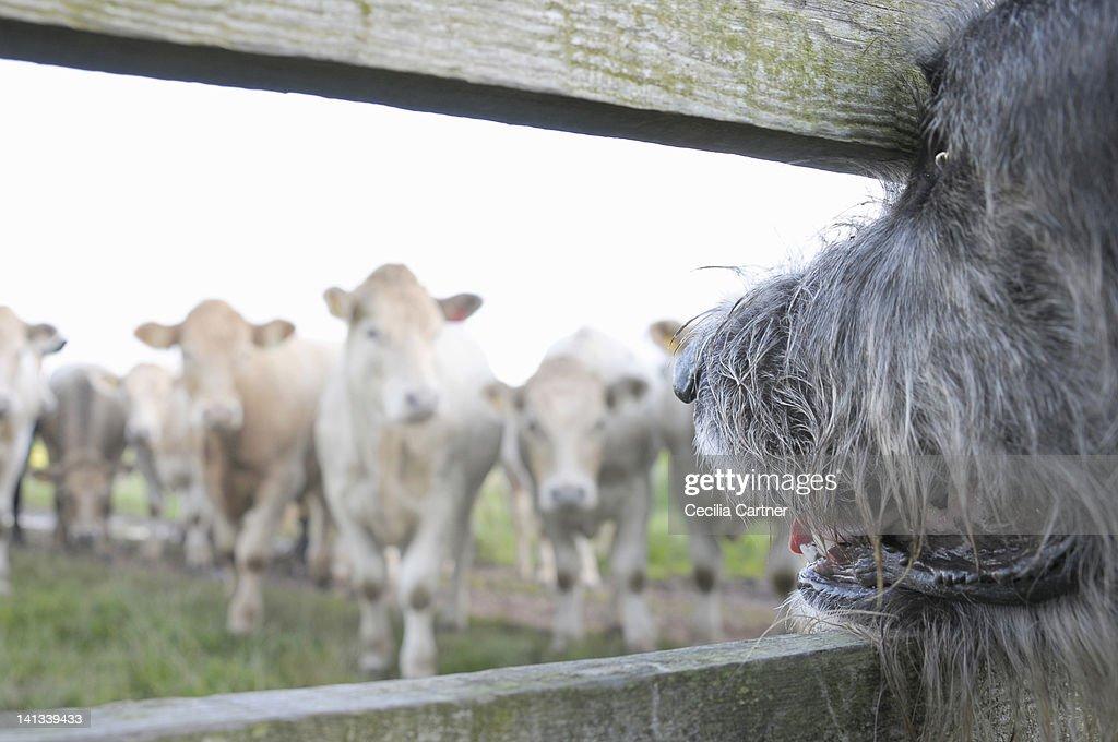Dog watching cows through fence : Foto de stock
