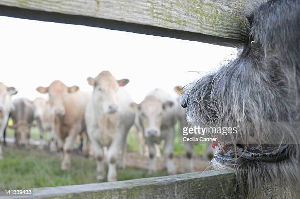 dog watching cows through fence - アイリッシュウルフハウンド ストックフォトと画像