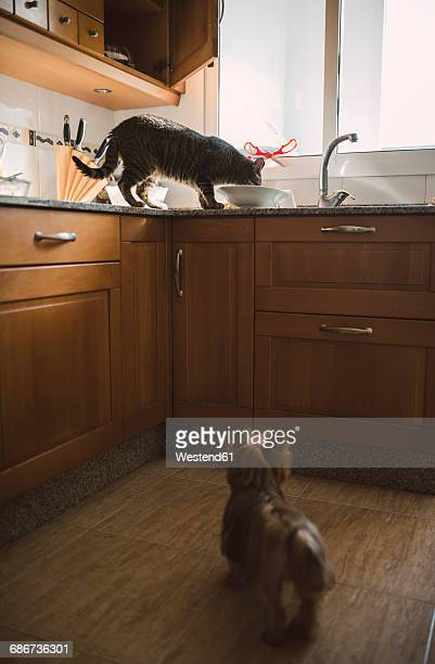 Dog watching eating cat in the kitchen
