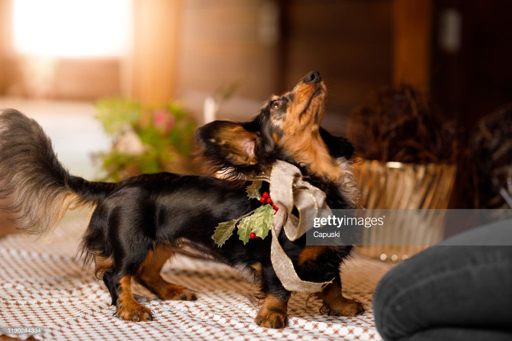 Dog wearing a Christmas bow : Stock Photo