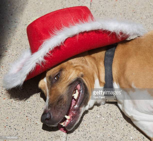 a dog wearing a christmas cowboy hat - cowboy christmas stock pictures, royalty-free photos & images
