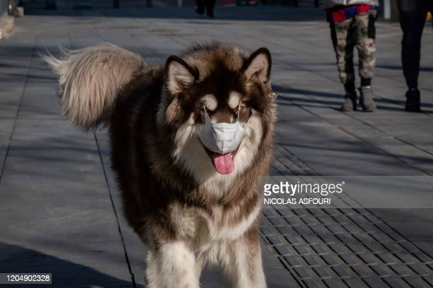 TOPSHOT A dog wearing a face mask as a preventive measure against the COVID19 coronavirus walks on a street in Beijing on March 3 2020 The world has...