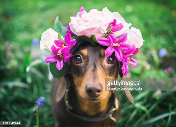 dog wearing a flower tiara - dachshund stock pictures, royalty-free photos & images