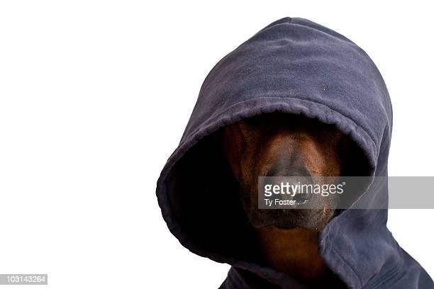 dog wearing a hooded sweatshirt - headwear stock pictures, royalty-free photos & images