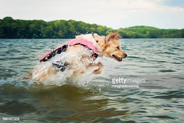 Dog wearing a life jacket jumping in the sea