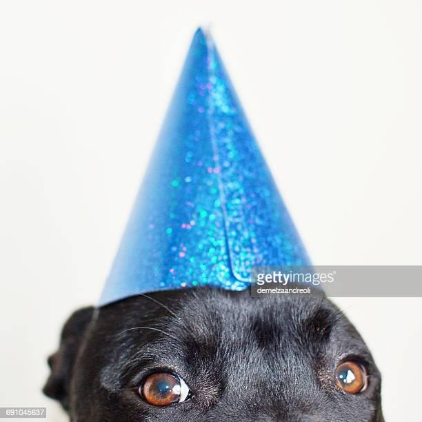 dog wearing a party hat - gorro de fiesta fotografías e imágenes de stock