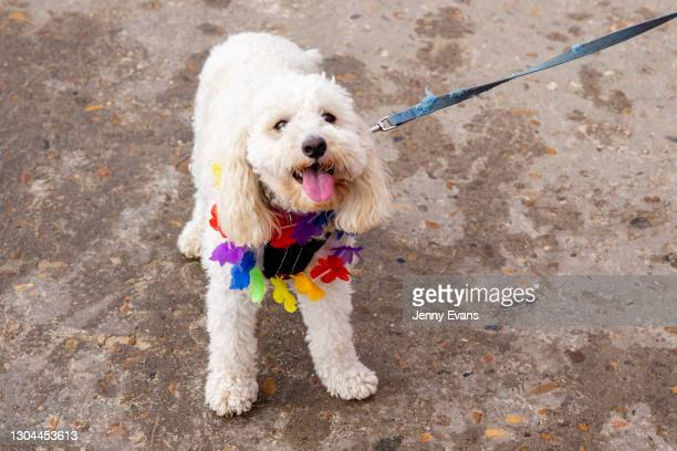 Dog wearing a rainbow collar is seen at Bronte Beach on February 28, 2021 in Sydney, Australia. Sydney's iconic Bronte and Bondi beaches were...