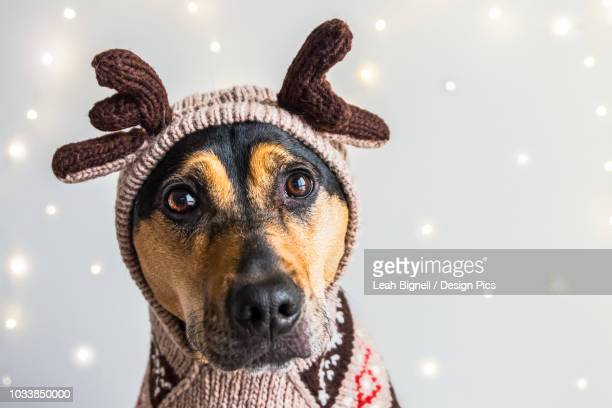 a dog wearing a reindeer sweater and hoodie with antlers for a christmas portrait - coonhound stock pictures, royalty-free photos & images