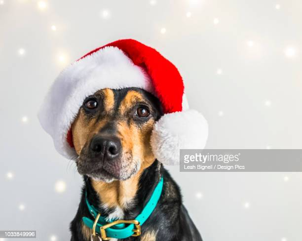 dog wearing a santa claus hat for a christmas portrait - coonhound stock pictures, royalty-free photos & images