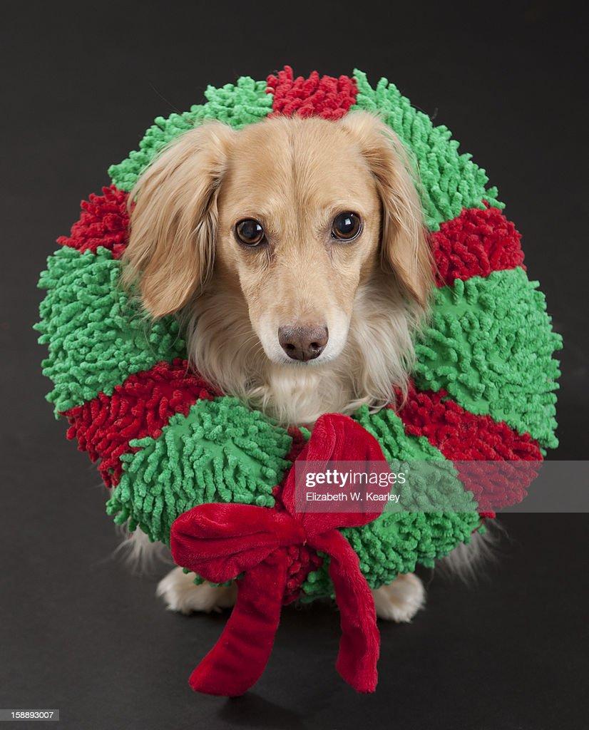 Dog wearing a wreath : Stock Photo