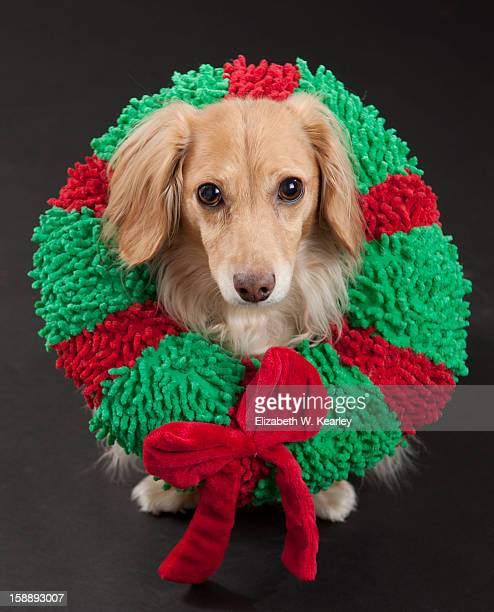 dog wearing a wreath - dachshund christmas stock pictures, royalty-free photos & images