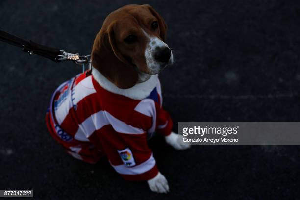 Dog wearing an Atletico de Madrid t-shirt stands before the La Liga match between Club Atletico Madrid and Real Madrid CF at Estadio Wanda...