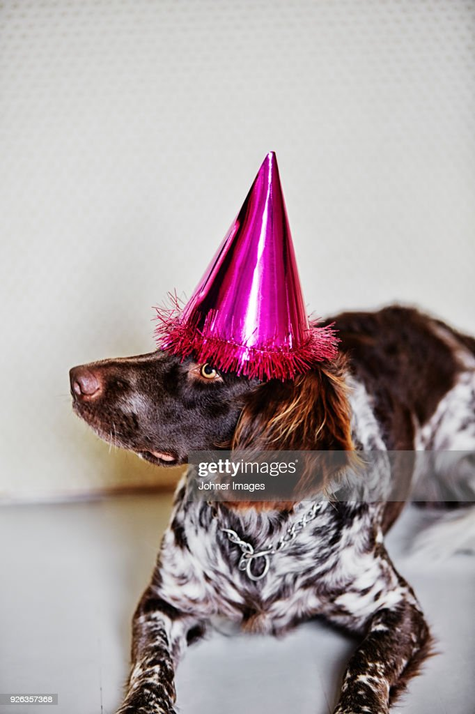 Dog Wearing Birthday Hat Stock Foto