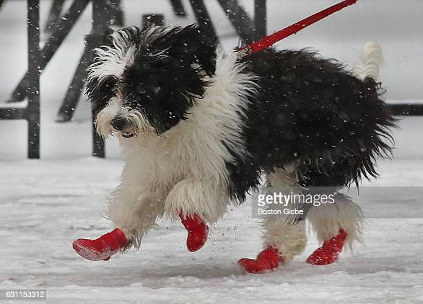 A dog wearing boots pranced along Boylston Street in Boston's Back Bay as snow fell Jan 7 2017 Forecasters expect the Boston area to get 6 to 12...