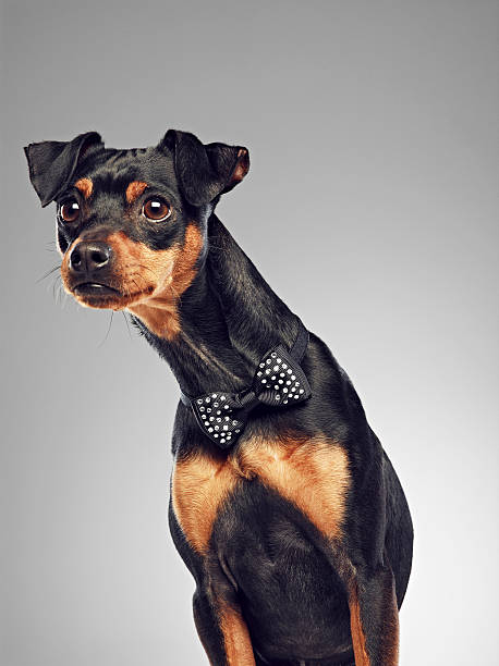 Dog wearing bow tie