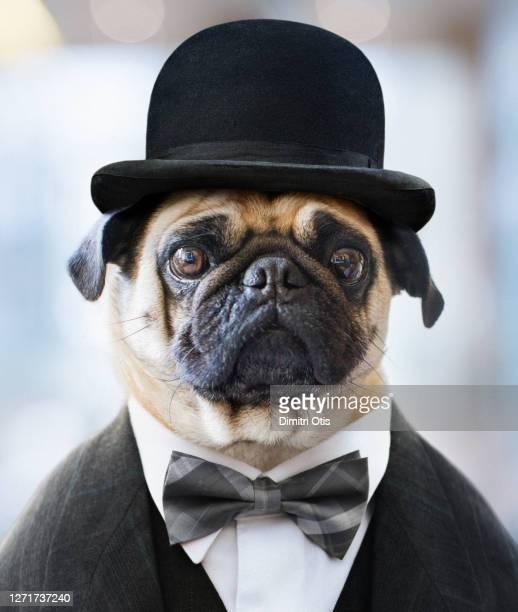 dog wearing bowler hat and suit, pug life - puggle stockfoto's en -beelden