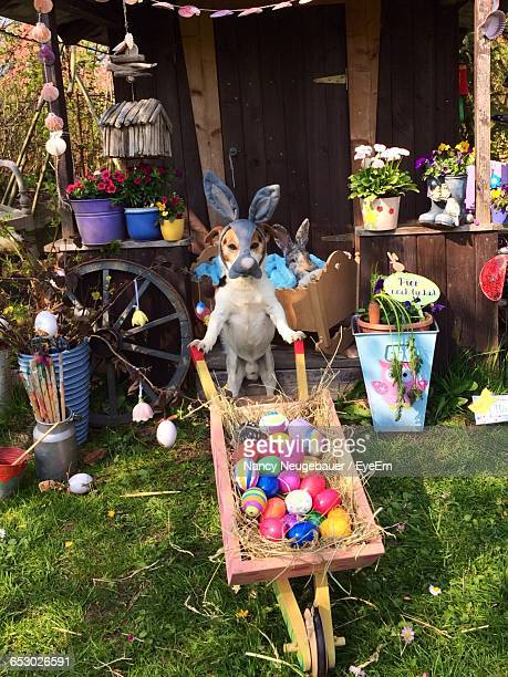Dog Wearing Bunny Mask With Easter Decorations In Back Yard