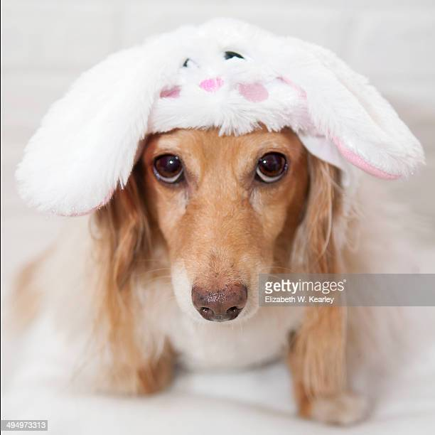 dog wearing bunny outfit for easter - long haired dachshund stock photos and pictures