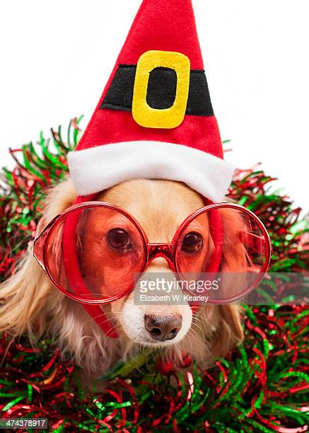 dog wearing christmas elf hat - dachshund holiday stock pictures, royalty-free photos & images
