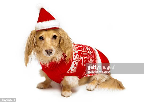 Dog wearing Christmas sweater