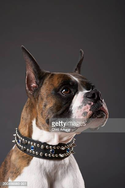 Dog wearing collar, looking away