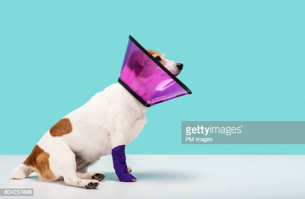 Dog wearing cone collar