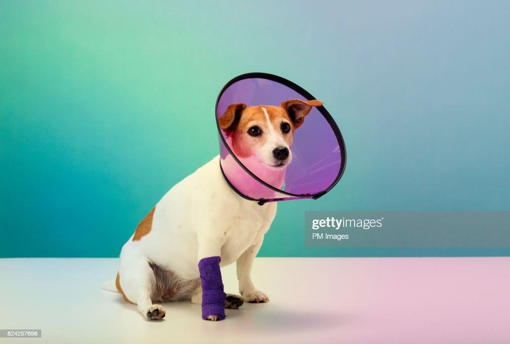 Dog wearing cone collar, portrait : Stock Photo