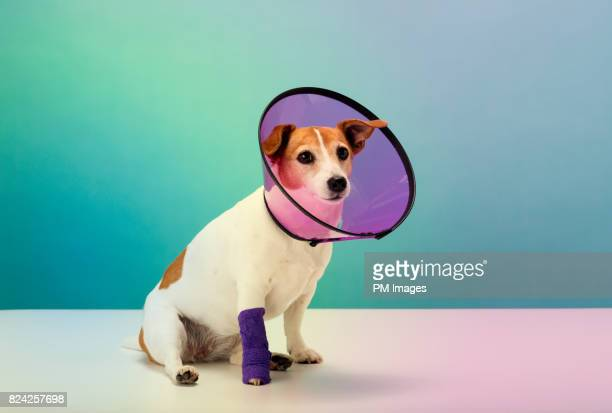 dog wearing cone collar, portrait - elizabethan collar stock photos and pictures