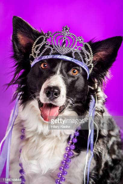 dog wearing crown - tiara stock pictures, royalty-free photos & images