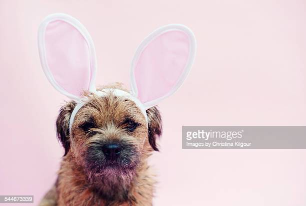 dog wearing easter bunny ears - dog easter stock pictures, royalty-free photos & images