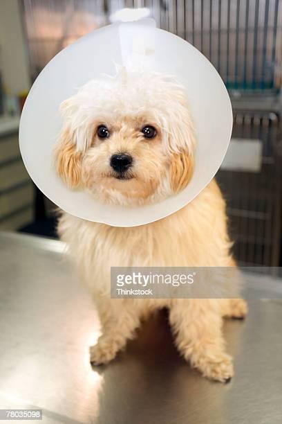 dog wearing elizabethan collar at vet clinic - elizabethan collar fotografías e imágenes de stock