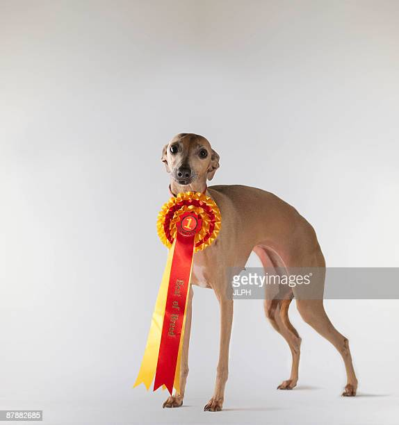 dog wearing first prize ribbon - blue ribbon stock photos and pictures
