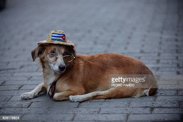 A dog wearing glasses and a hat with the Cuban national flag is seen in a street of Havana on November 27 2016 Cuban revolutionary icon Fidel Castro...