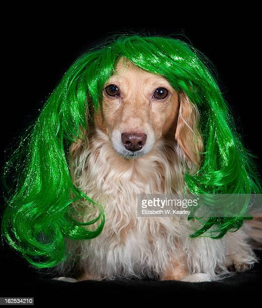 dog wearing green wig for st. patrick's day - long haired dachshund stock photos and pictures