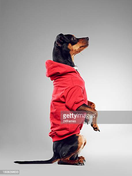 Dog wearing hooded sweatshirt