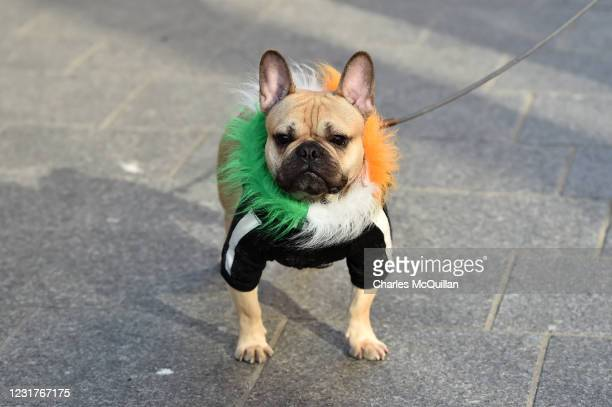 Dog wearing Irish tricolour is seen on St. Patrick's Day in Dublin city centre on March 17, 2021 in Dublin, Ireland. St. Patrick's Day has again been...