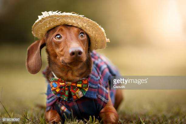 dog wearing june's party são joão clothes - americas next top dog stock pictures, royalty-free photos & images