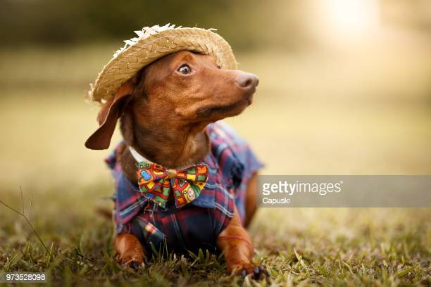 dog wearing june's party são joão clothes - traditional clothing stock pictures, royalty-free photos & images