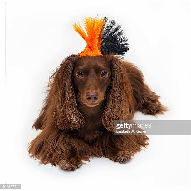 Dog wearing mohawk wig
