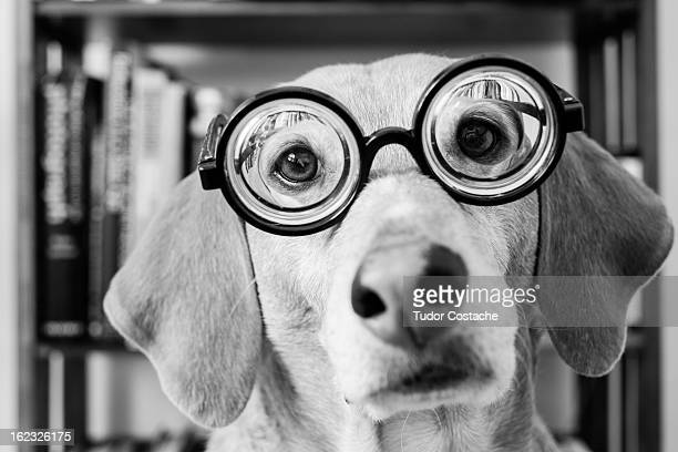 dog wearing nerd glasses - thick rimmed spectacles - fotografias e filmes do acervo