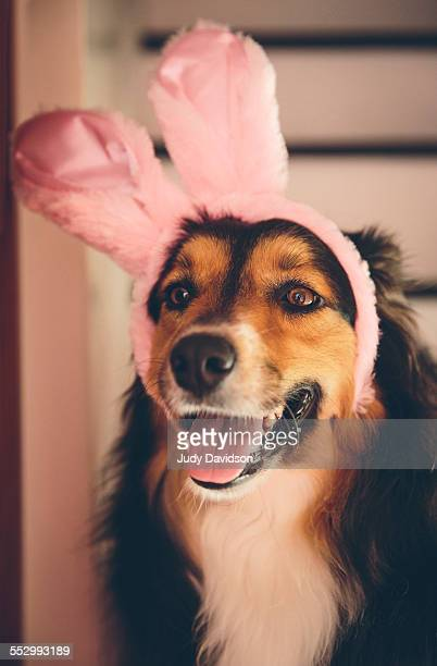 dog wearing pink bunny ears. - dog easter stock pictures, royalty-free photos & images