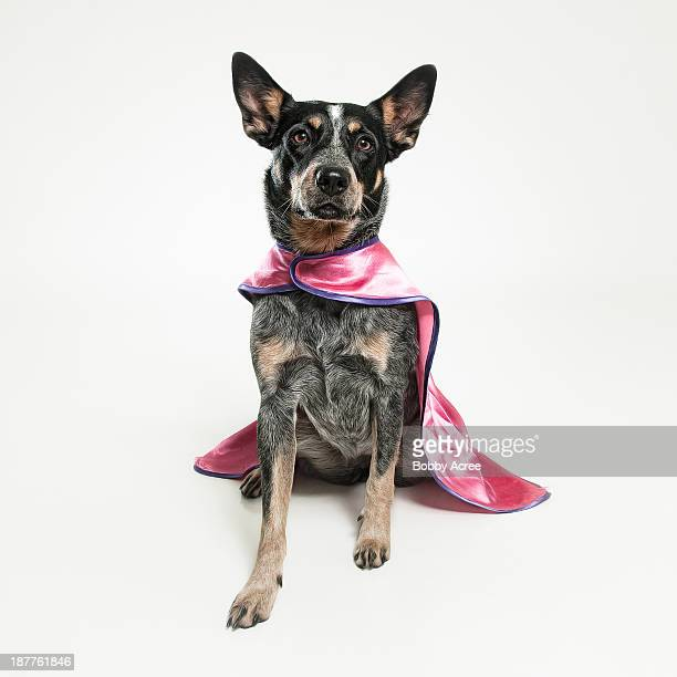 dog wearing pink cape - australian cattle dog stock pictures, royalty-free photos & images