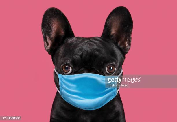 dog wearing protective face mask. - animal stock pictures, royalty-free photos & images