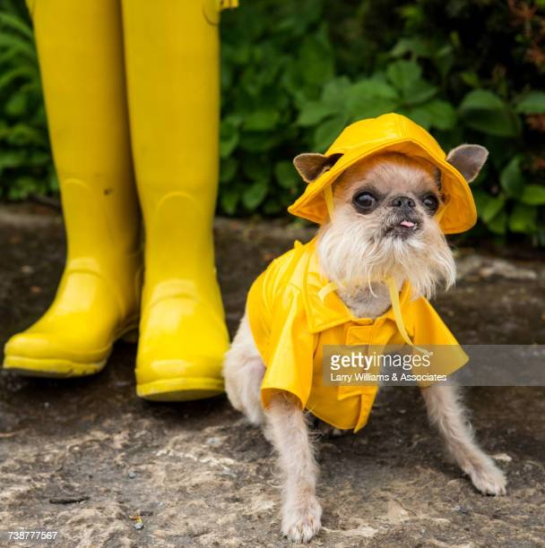 dog wearing rain coat and rain hat - yellow hat stock pictures, royalty-free photos & images