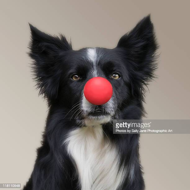 dog wearing red clown nose - clown's nose stock photos and pictures